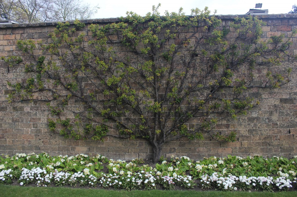 Espalier training trees Hampton court