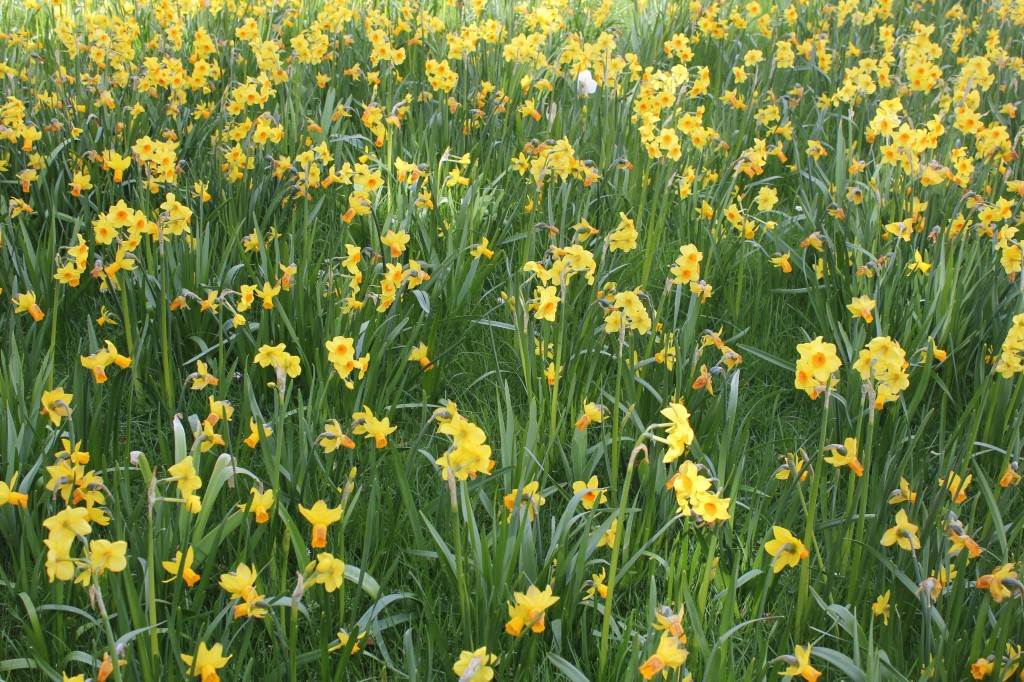 daffodills Hampton court