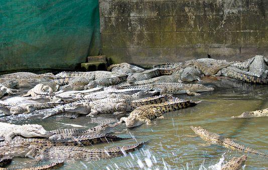 Крокодиловые фермы Австралии