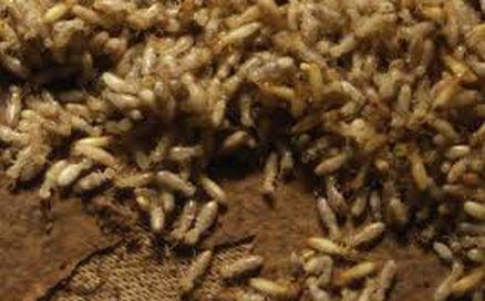 Булдаст - подножный корм солдат, Australian bushtucker (termites)