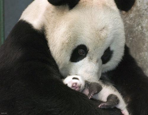 Гигантская панда с детенышем. Рассказ про панду на английском
