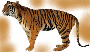 животные на английском - тигр