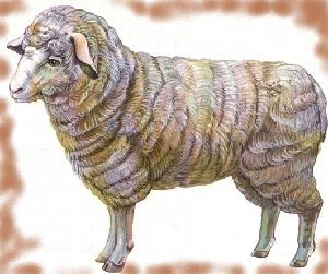 животные на английском - баран