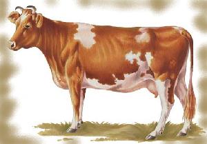 животные на английском - корова