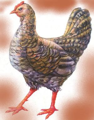 животные на английском - курица, курочка