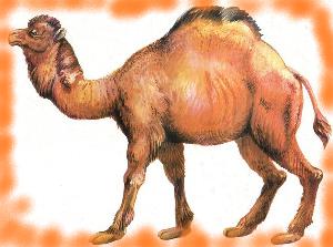 животные на английском - верблюд