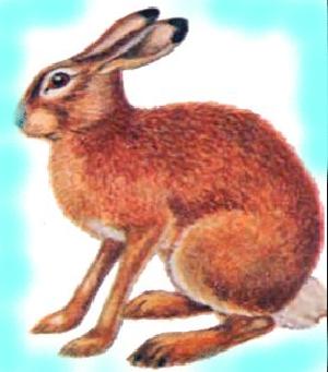 животные на английском - заяц