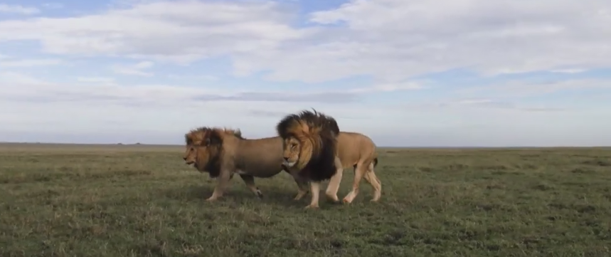 львы гривы
