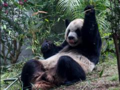 Гигантская панда, рассказ про панду на английском
